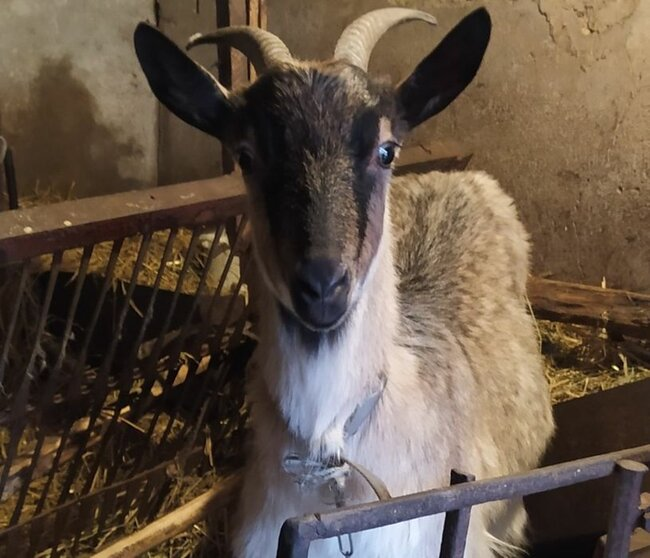 Дійна коза зааненська - Липовец, Винницкая область
